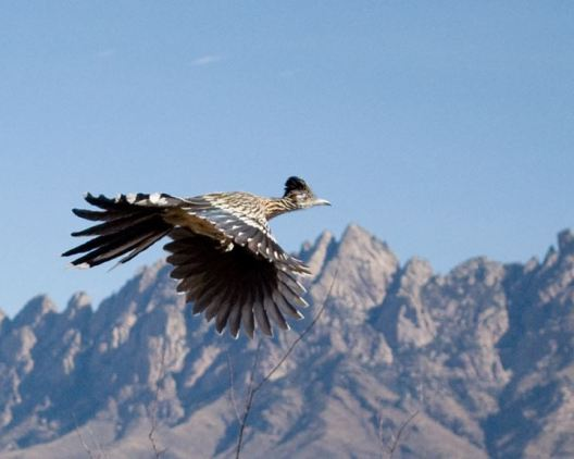 Roadrunner flying past the Organ Mountains