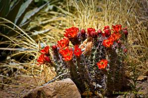 Flowering cactus (Enchanted Dreams photo)