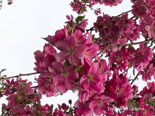Spring blossom (Enchanted Dreams photo)