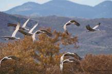 Cranes at Bosque del Apache. - Bryan J Raymond