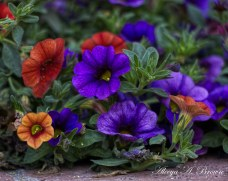 Petunias by Binkers Brown